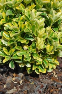 Euonymus shrub (not to be confused with euonyms)