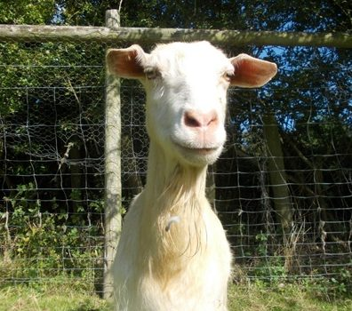 Geraldine the goat